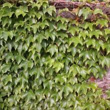 Rośliny pnące na ogrodzeniach – czy to ma sens?
